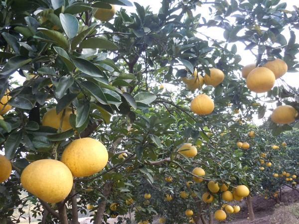 梁平柚柚子树-梁平柚
