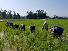 安胜乡:生态种植水稻效益好