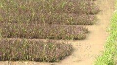 独特风景:彩色水稻即将打造梁平水田景观!