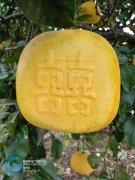 你会吃吗?梁平方形柚将上市 价格是普通柚十倍以上