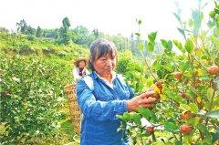 梁平:油茶飘香喜迎丰收 带动村民增收致富